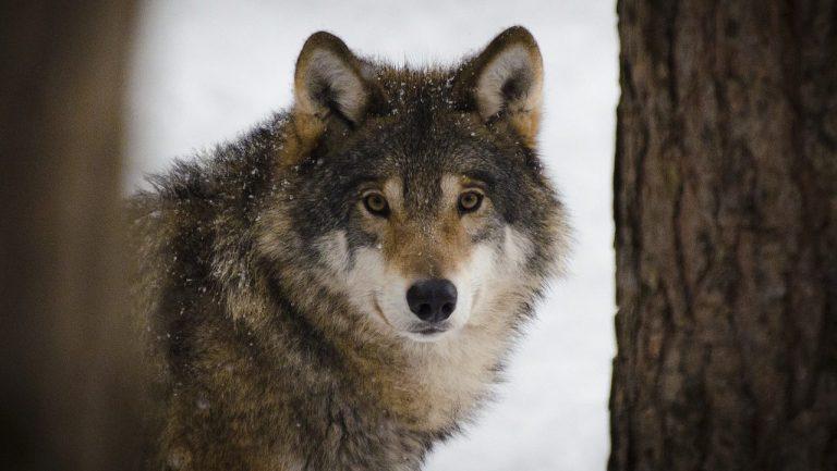 Рассказы о животных читательский дневник // Сетон-Томпсон «Виннипегский волк»