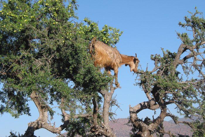 Коза и аргановое дерево  // Формаслов